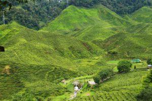 Чайные плантации Cameron Highland